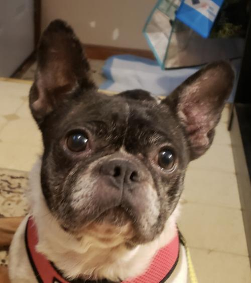 Dog For Adoption Amal A French Bulldog Boston Terrier Mix In