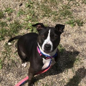 Dog for adoption - Porkchop, a Pit Bull Terrier Mix in