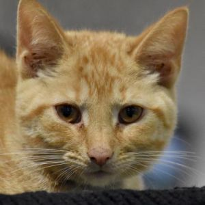 Cat for adoption - Little Brother, a Domestic Short Hair in