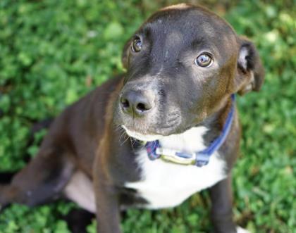 Dog for adoption - Sam, a Labrador Retriever & Border Collie Mix in