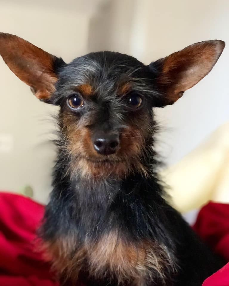 Dog for adoption - Archie, a Yorkshire Terrier Mix in Scottsdale, AZ