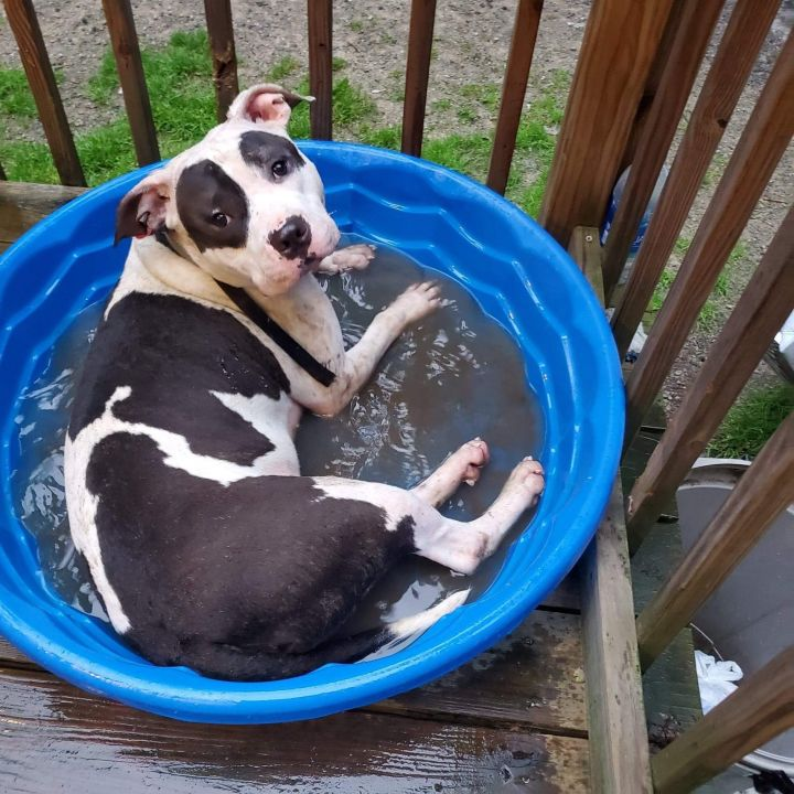 Dog for adoption - Patches, an American Staffordshire
