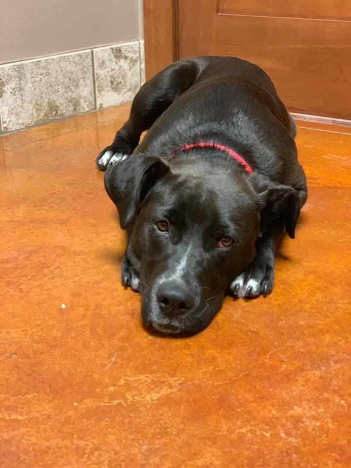 5202 Cooper, an adoptable Black Labrador Retriever Mix in Springfield, MO