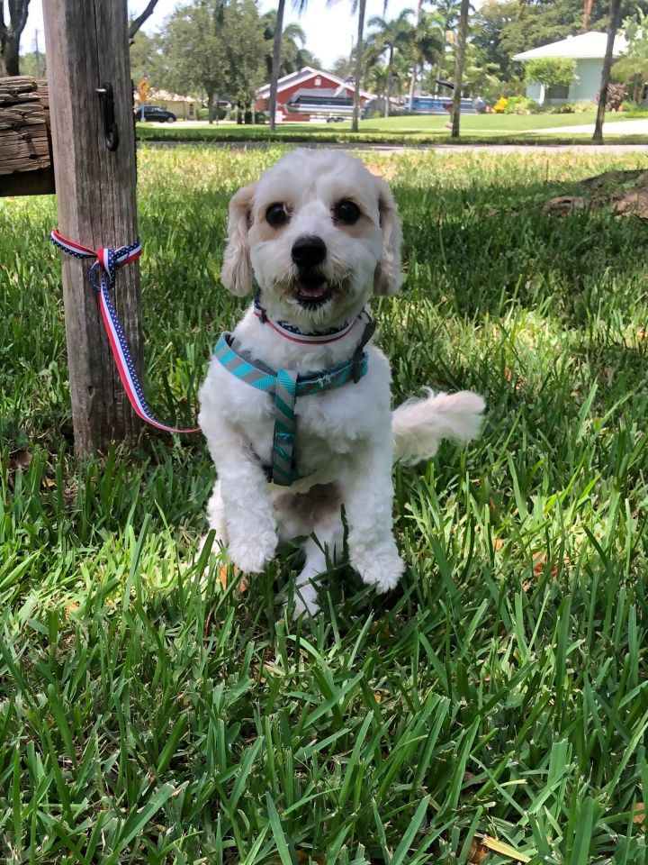 Liam, an adopted Poodle Mix in Davie, FL
