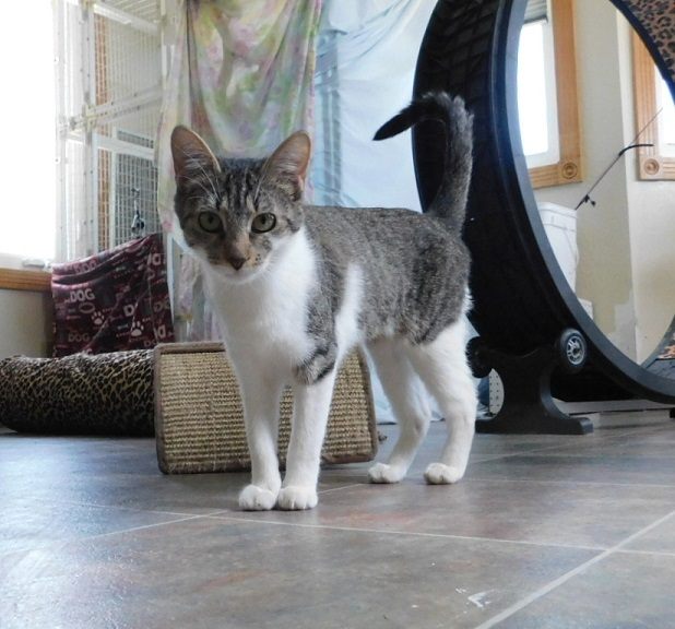 Molly, an adopted Domestic Short Hair Mix in Ridgway, CO