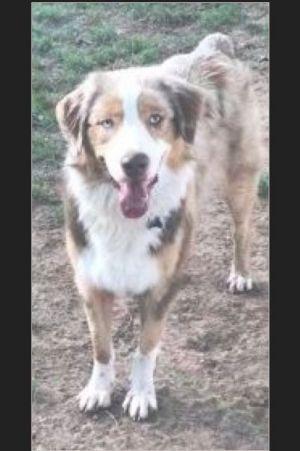 Dog for adoption - Angel, an Australian Shepherd in Oklahoma