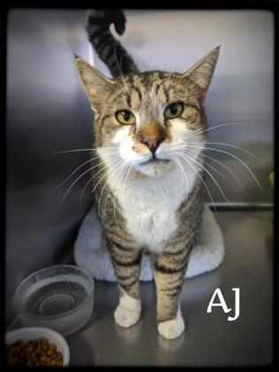 AJ, an adopted Domestic Short Hair & Tabby Mix in Prineville, OR