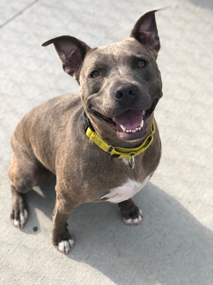 Princess Leia, an adoptable Pit Bull Terrier Mix in Naperville, IL