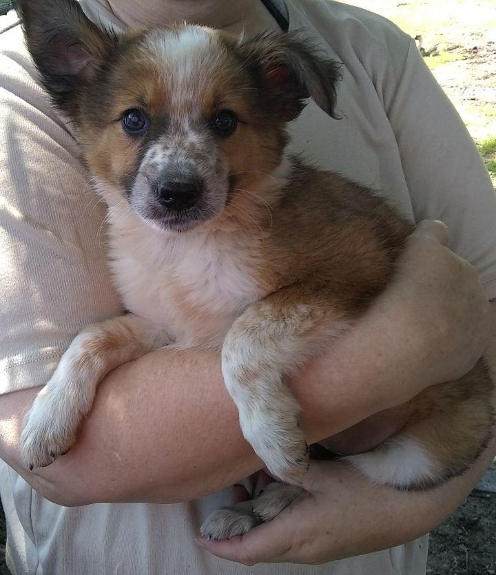Dog for adoption - (C) Border Collie/Australian Shepard-Red