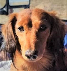 Copper, an adopted Dachshund in Omaha, NE