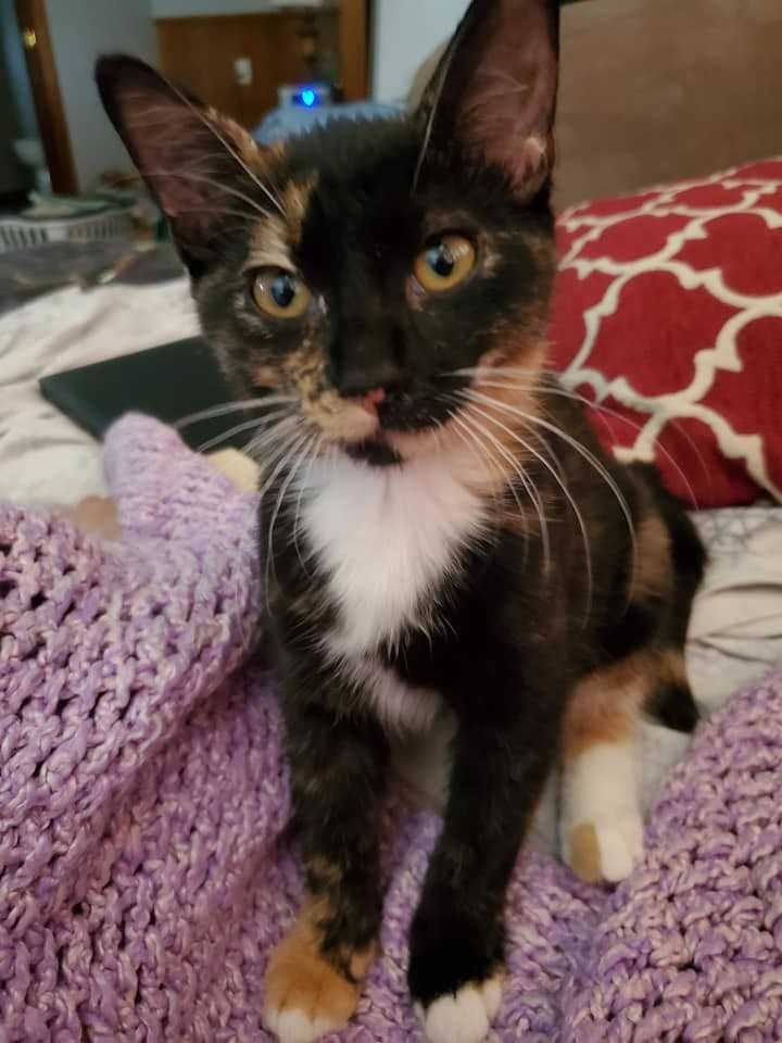 Maya, an adopted Calico in Manhattan, KS