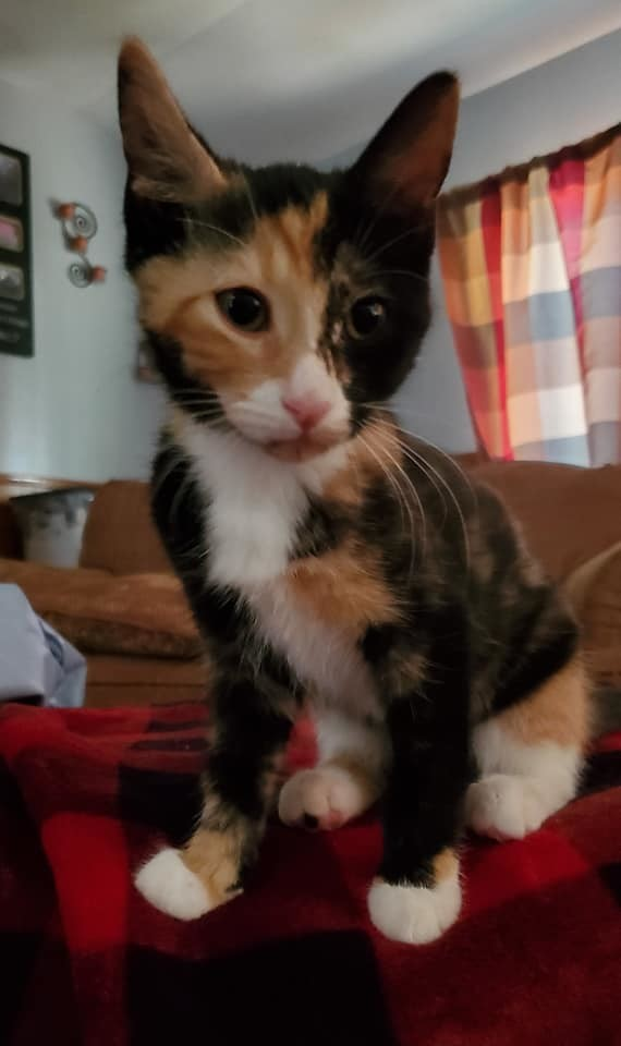 Snickers, an adopted Calico in Manhattan, KS