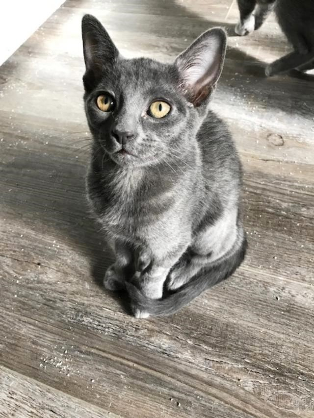 Lexie, an adoptable Russian Blue & Domestic Short Hair Mix in Mission Viejo, CA