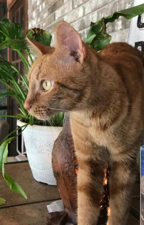 Jack, an adoptable Domestic Short Hair Mix in Orlando, FL