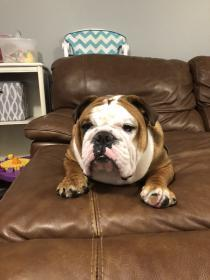 Chubbs, an adoptable English Bulldog in Decatur, IL