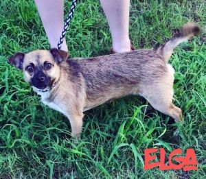 Dog for adoption - Elga, a Terrier & Chihuahua Mix in