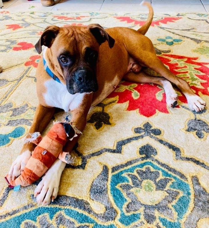 Dog for adoption - Rex, a Boxer in Dallas, TX | Petfinder