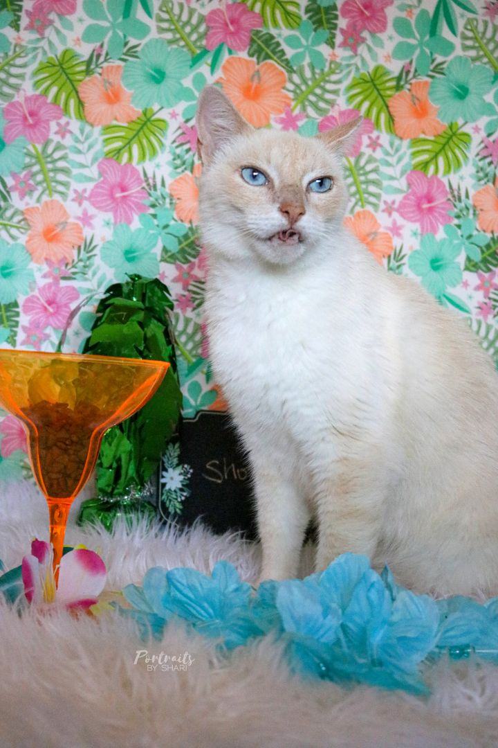 Shortbread, an adoptable Domestic Short Hair & Siamese Mix in Marble Falls, TX
