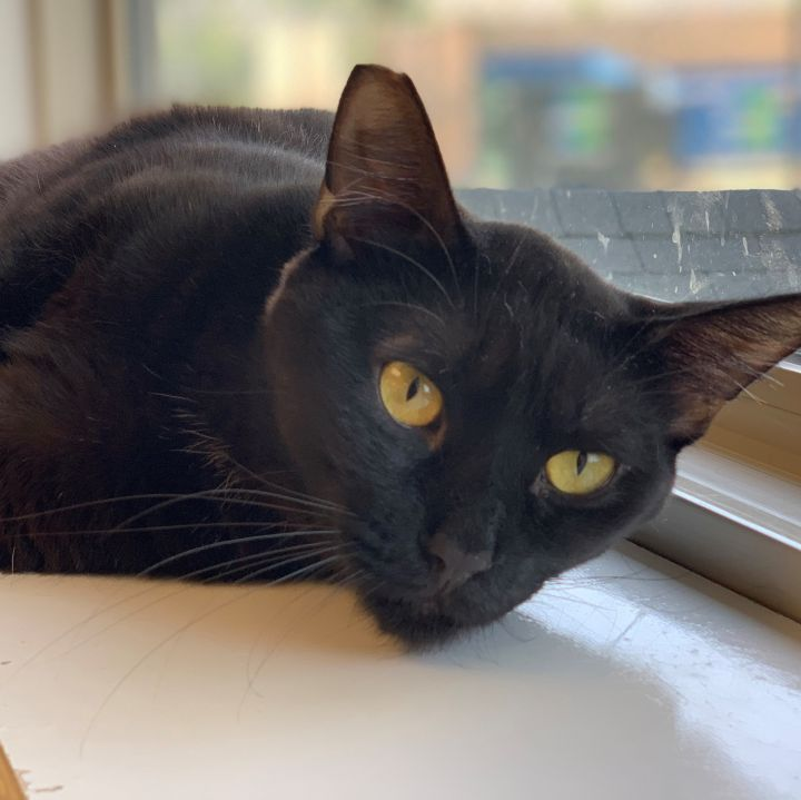 Shug, an adoptable Domestic Short Hair in Naperville, IL