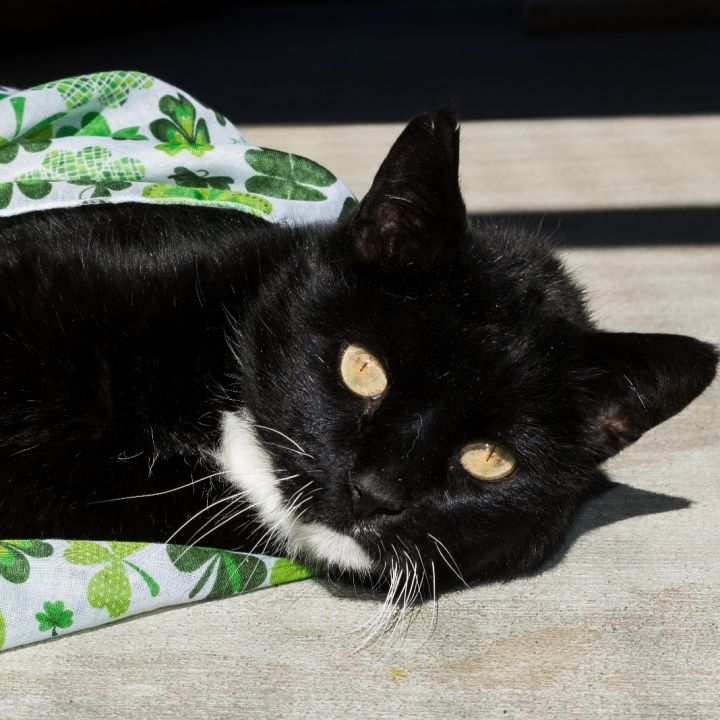 Festus, an adoptable Domestic Short Hair in Jacksonville, OR