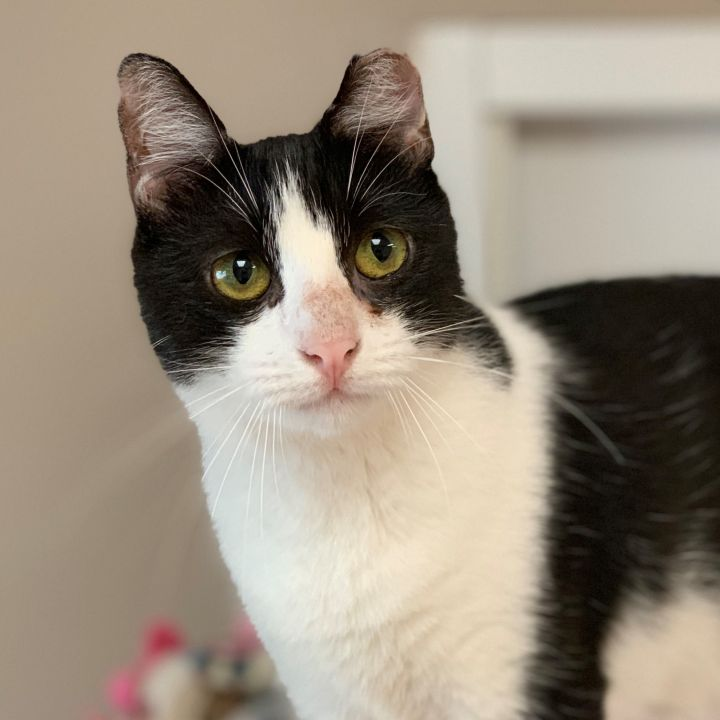 Sofia, an adoptable Domestic Short Hair in Naperville, IL