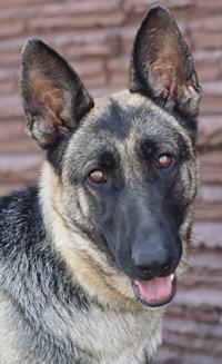 Dog For Adoption Sadie Von Sarmstorf A German Shepherd Dog In