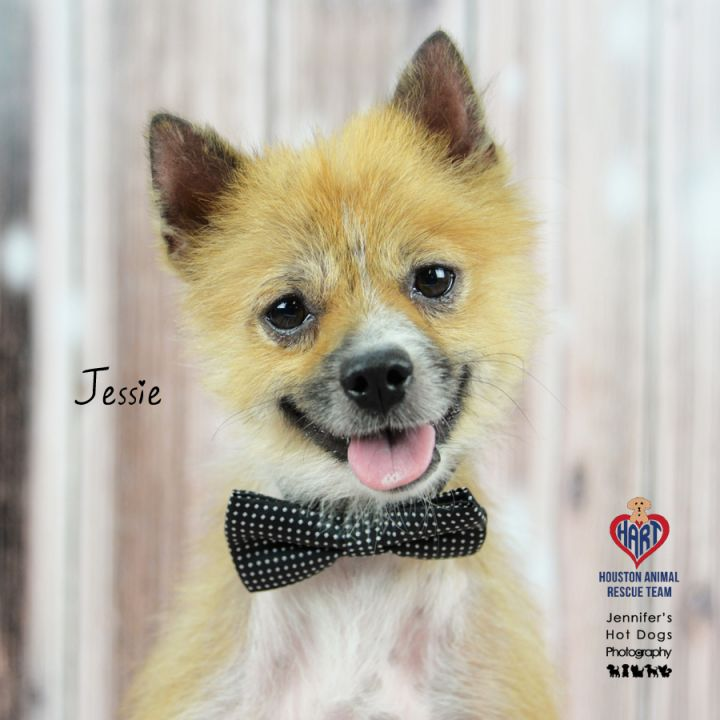 Dog for adoption - Jessie, a Pomeranian Mix in Tomball, TX | Petfinder