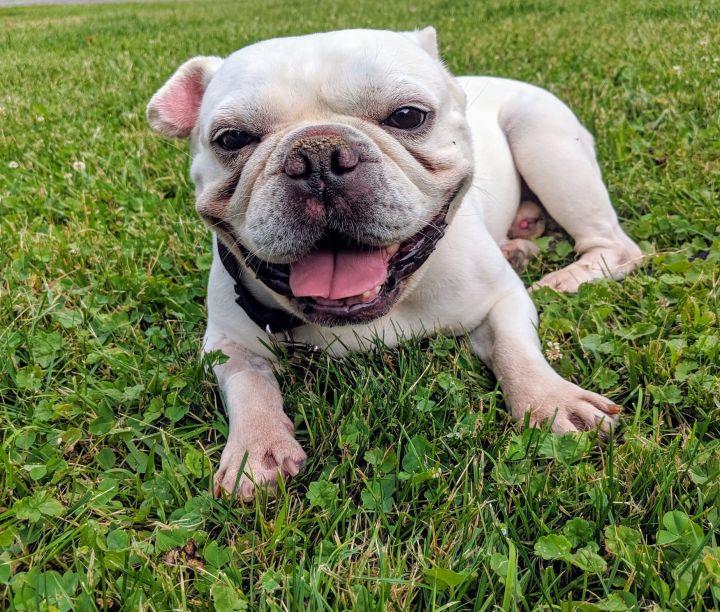 Dog for adoption - Auggie, a French Bulldog in binghamton, NY
