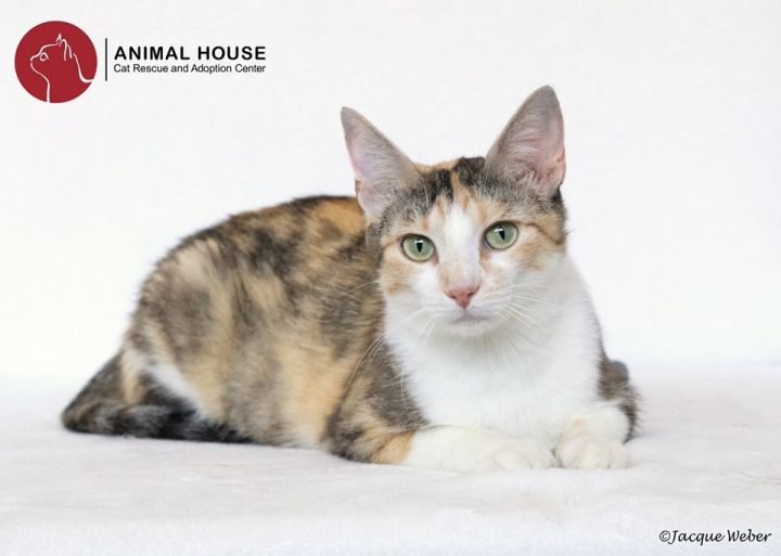 Georgia, an adoptable Domestic Short Hair in St. Louis, MO