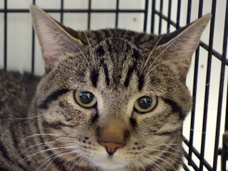 Lucky, an adoptable Domestic Short Hair & Tabby Mix in Anaconda, MT