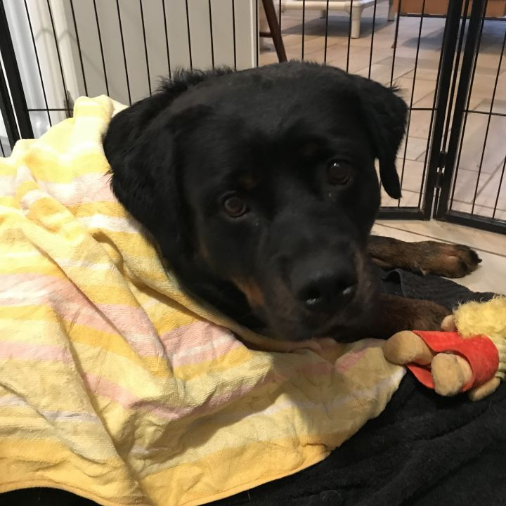 Yetta, an adoptable Rottweiler in Mount Gretna, PA