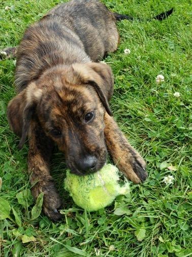 Dog for adoption - Velma, a Retriever Mix in Binghamton, NY | Petfinder
