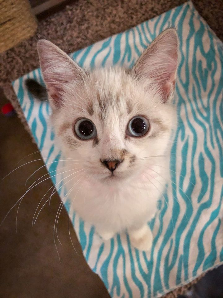 Cat for adoption - Dovey, a Domestic Medium Hair & Siamese