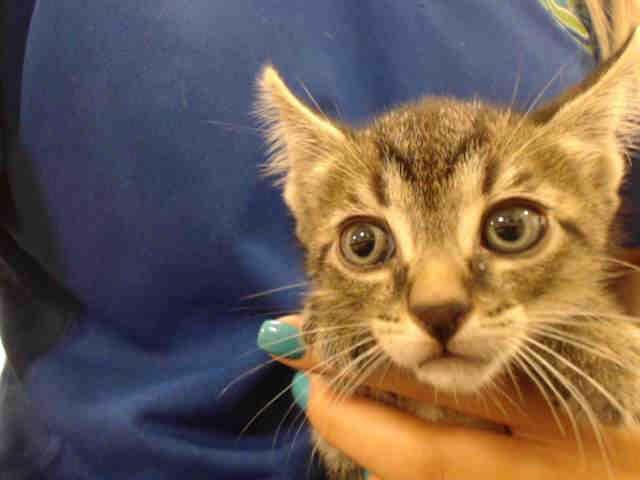 Cat for adoption - EDDIE, a Domestic Short Hair in Miami, FL