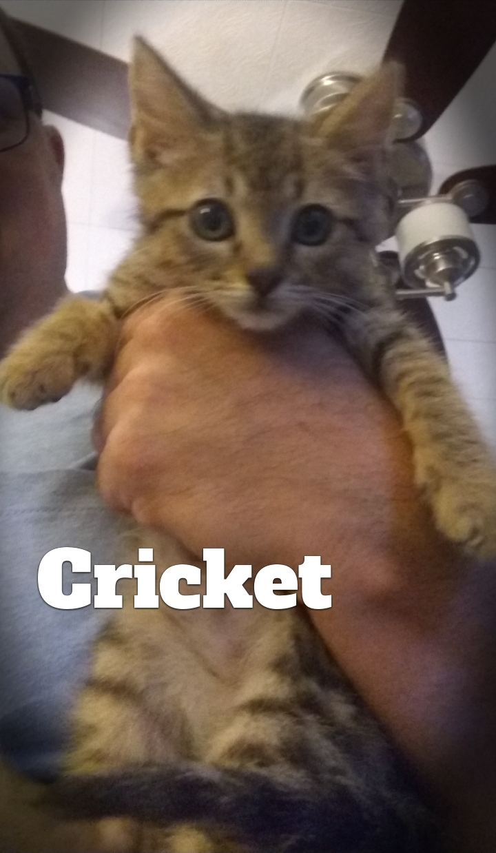 Crickett, an adopted Domestic Short Hair in West Point, VA
