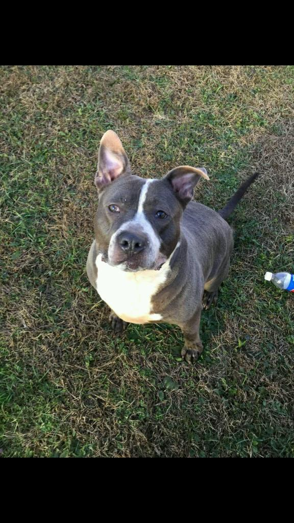Billy, an adoptable Pit Bull Terrier Mix in Benton, PA