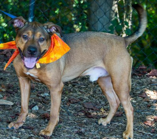 Caden, an adoptable Shepherd Mix in Alpharetta, GA