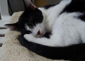 Cat for adoption - Grayson, a Domestic Short Hair in Penndel, PA