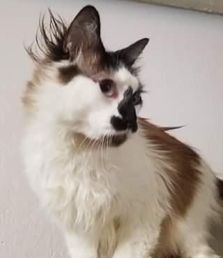 Cat for adoption - Wolfie, a Ragdoll in Ennis, TX | Petfinder