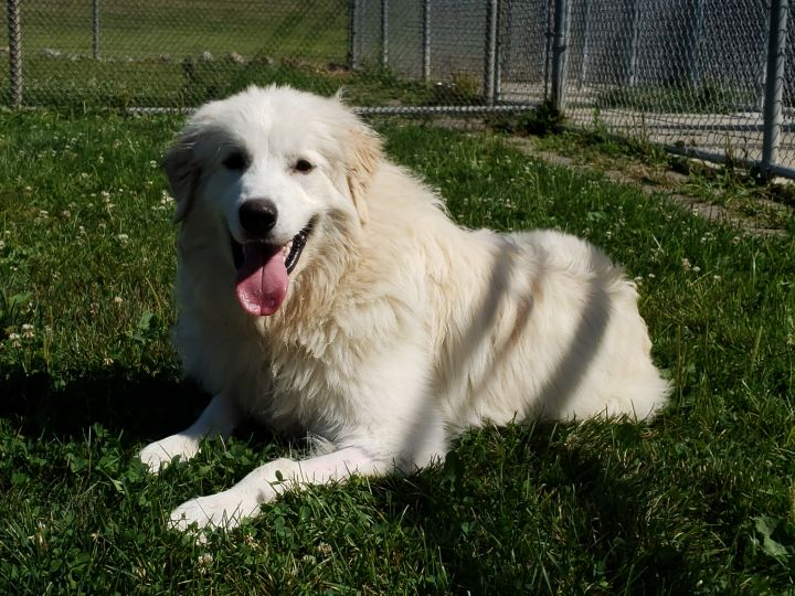 Ghost, an adoptable Great Pyrenees in Lake Odessa, MI
