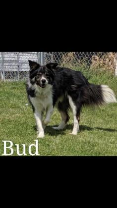 Max, an adopted Border Collie Mix in Prineville, OR