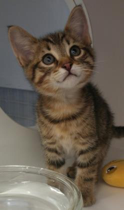 Cat for adoption - Bambi, a Domestic Short Hair in West