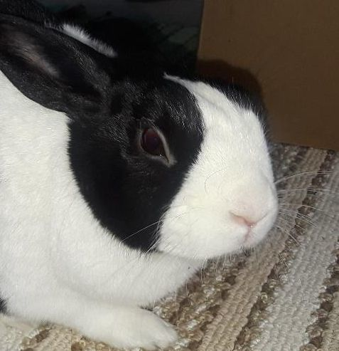 Rabbit for adoption - Chelsea, a Dutch in Madison, WI