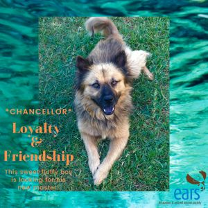 Dog for adoption - Chancellor - 736, a Chow Chow