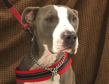 Dog for adoption - Mr  Big, a Pit Bull Terrier & Great Dane