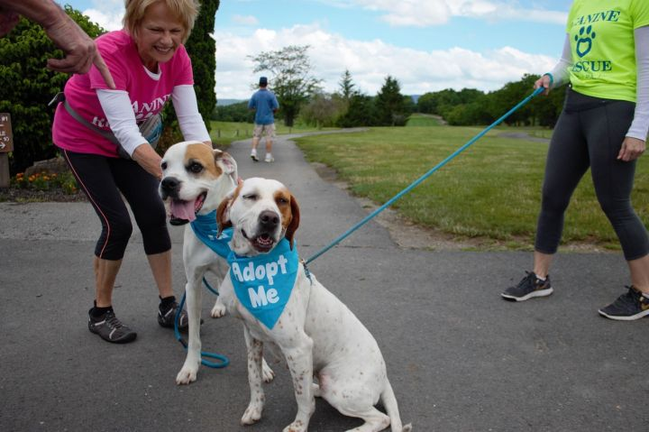 Angie, an adopted English Pointer in Dillsburg, PA