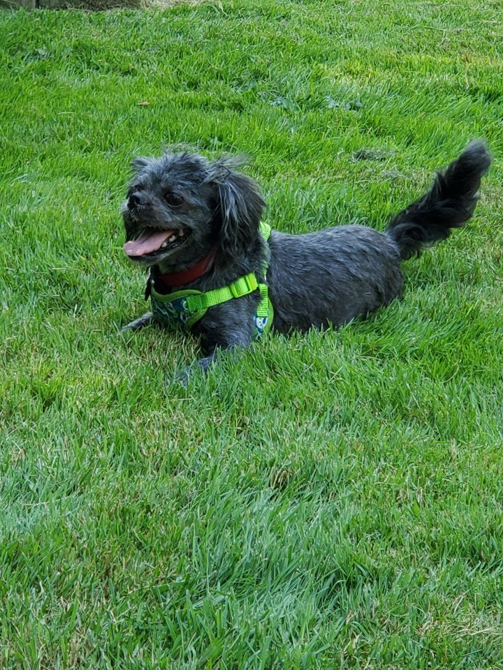 Choupette, an adoptable Shih Tzu in Chatham, ON