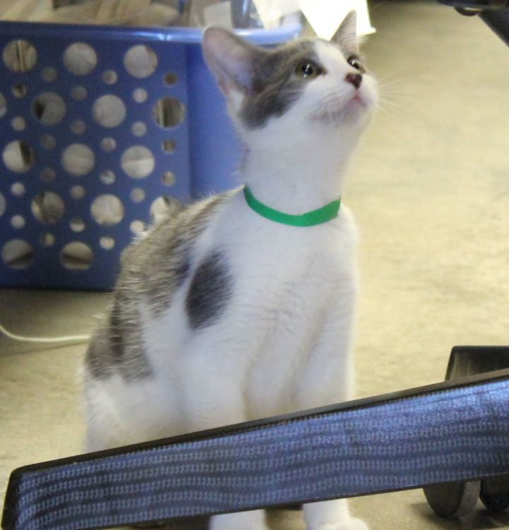 Cat for adoption - Ice Cream, a Domestic Short Hair in Lampasas, TX