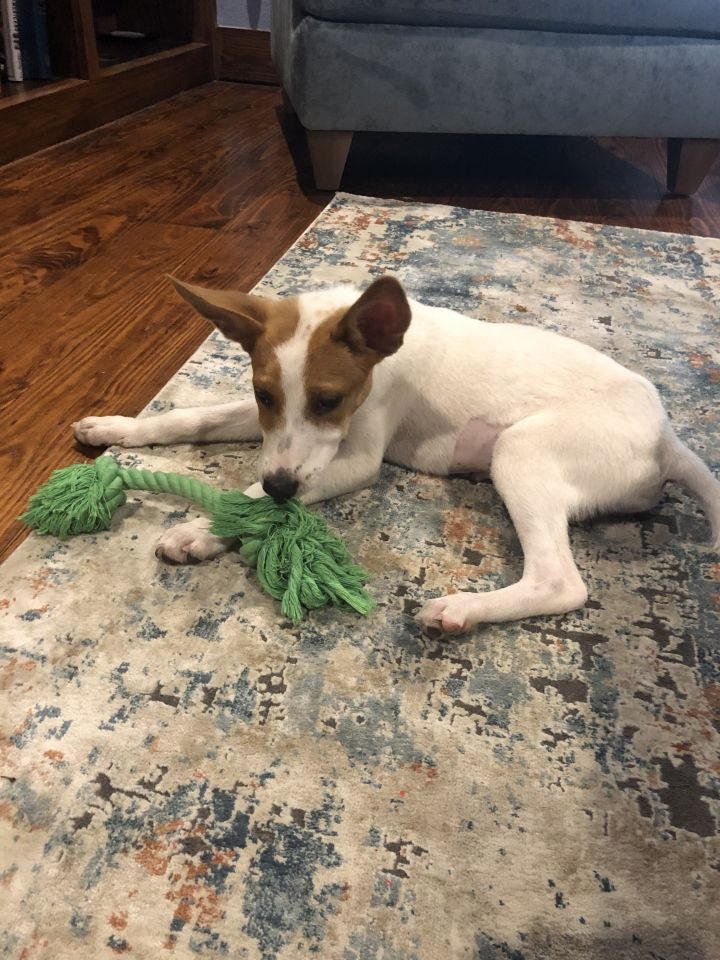 Daisy, an adopted Basenji Mix in Fort Worth, TX
