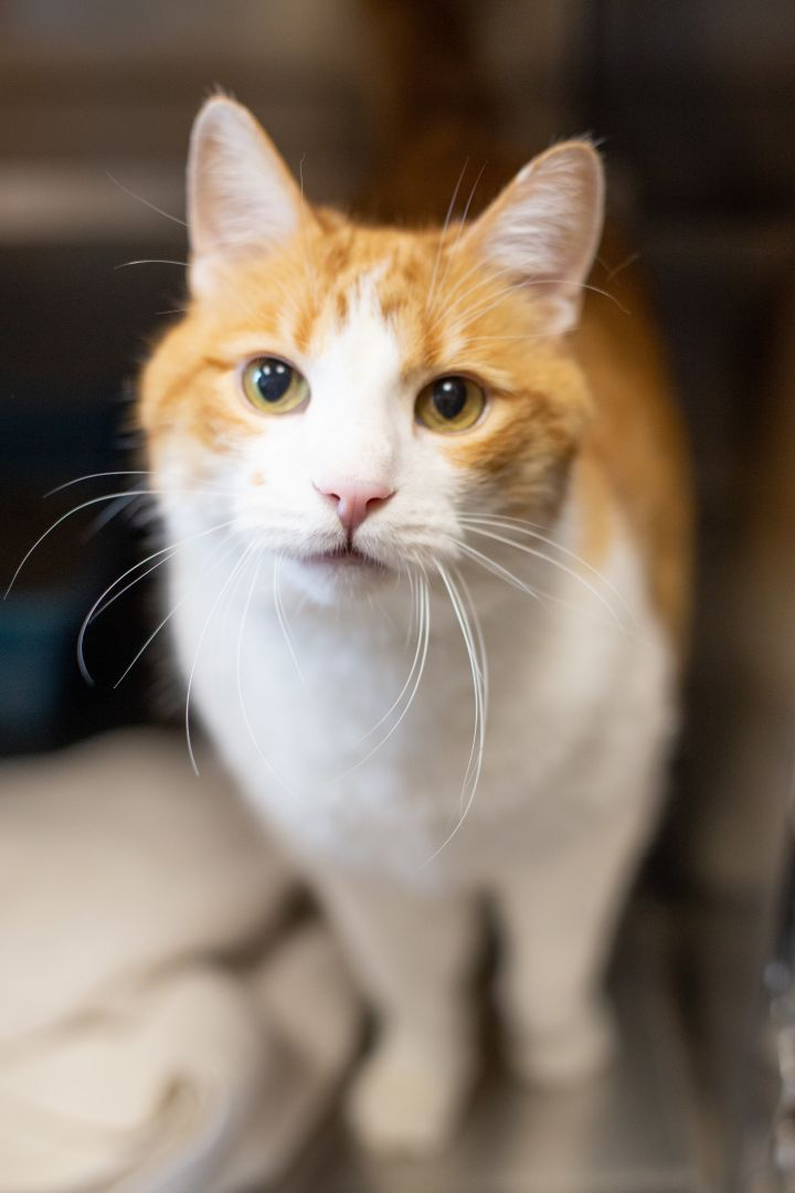 Pedro, an adoptable Domestic Short Hair Mix in Appleton, WI